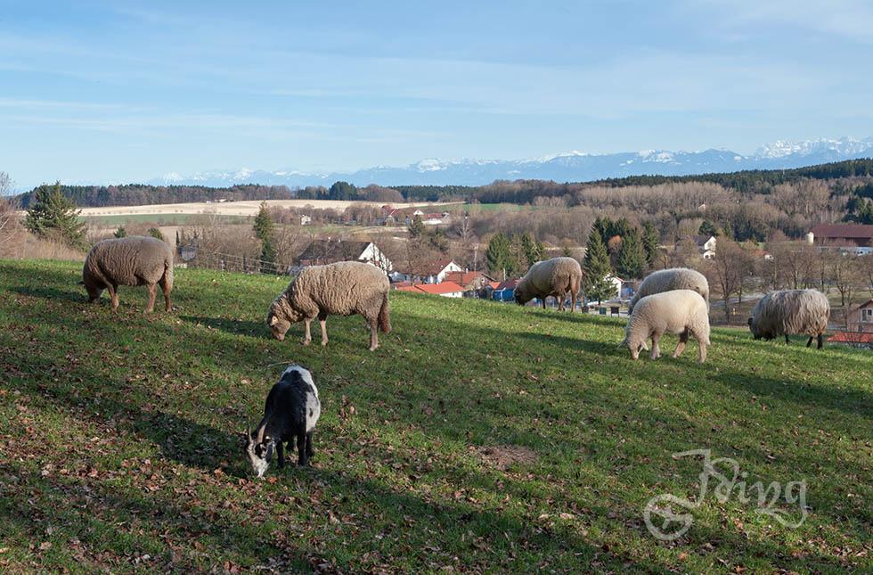 Die Schafe sind mit ihren Jungen wieder raus auf die Wiese gezogen. Sie genießen die frischen Halme.