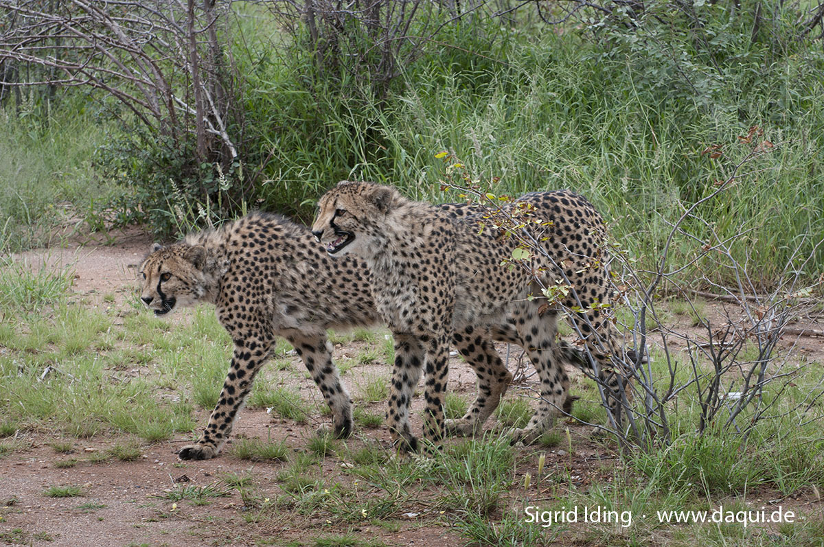 Geparden auf der Otjitotongwe Cheetah Farm.