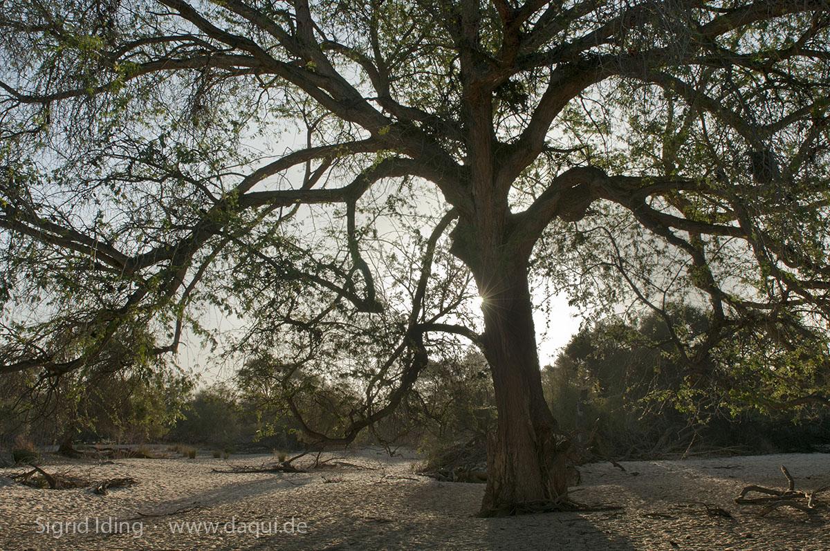 Der Kuiseb bildet einen grünen Gürtel zwischen der orangefarbenen Sandwüste im Süden und der beigefarbenen Schotterwüste im Norden.