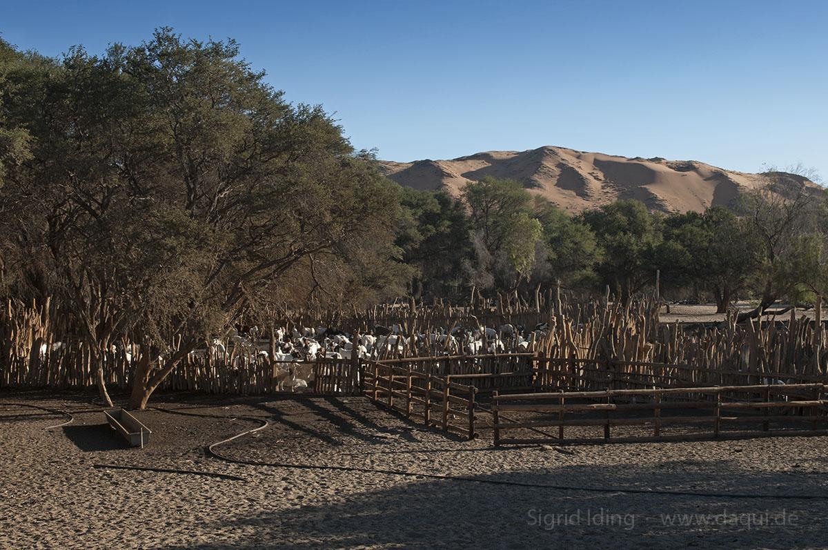 Die Ziegen verschaffen den Dorfbewohnern von Homeb ein Auskommen. Im Hintergrund die rote Namib.