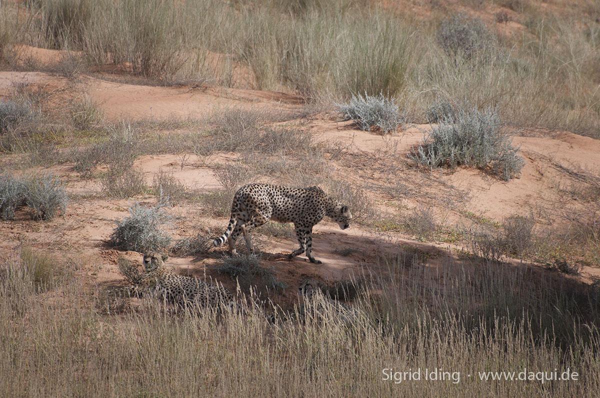 Gepard_2