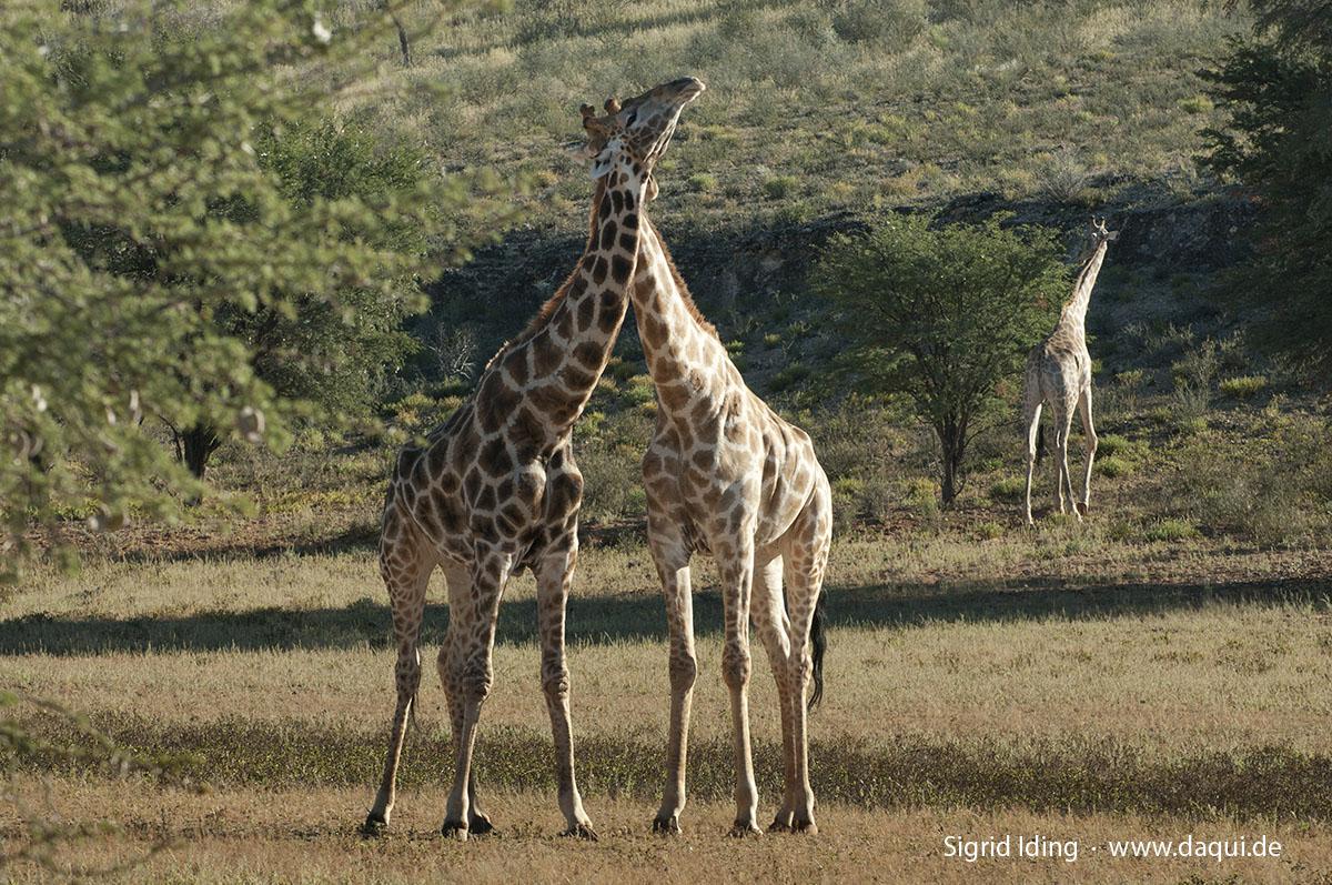 Giraffen_1