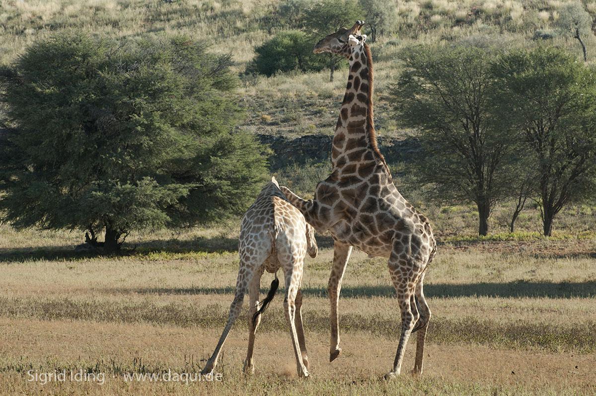 Giraffen_4