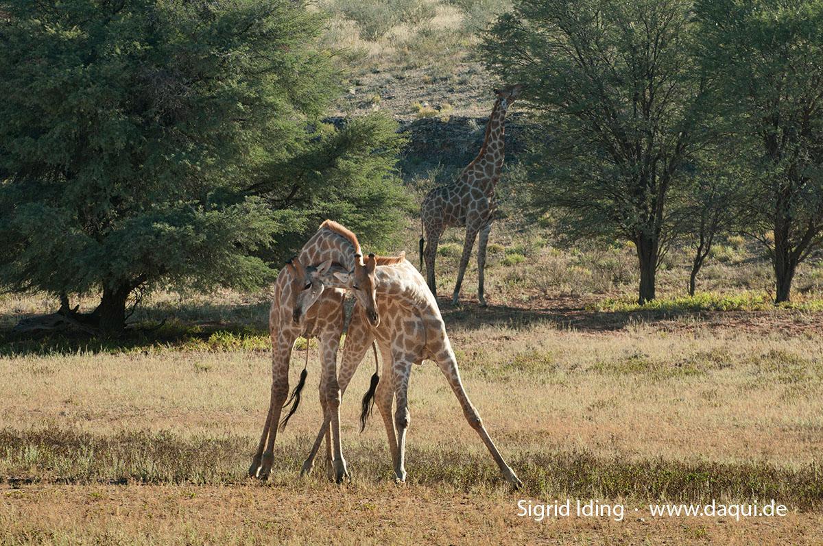 Giraffen_5