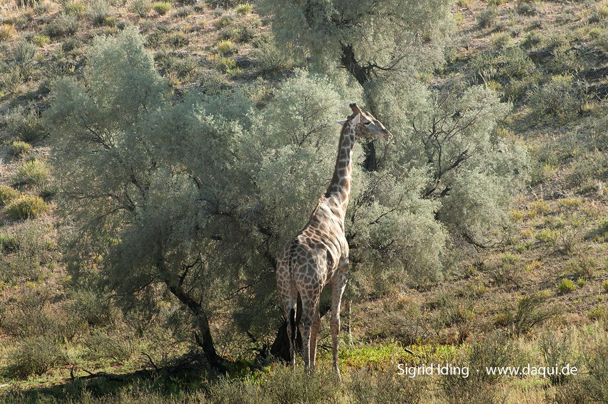 Giraffen_6