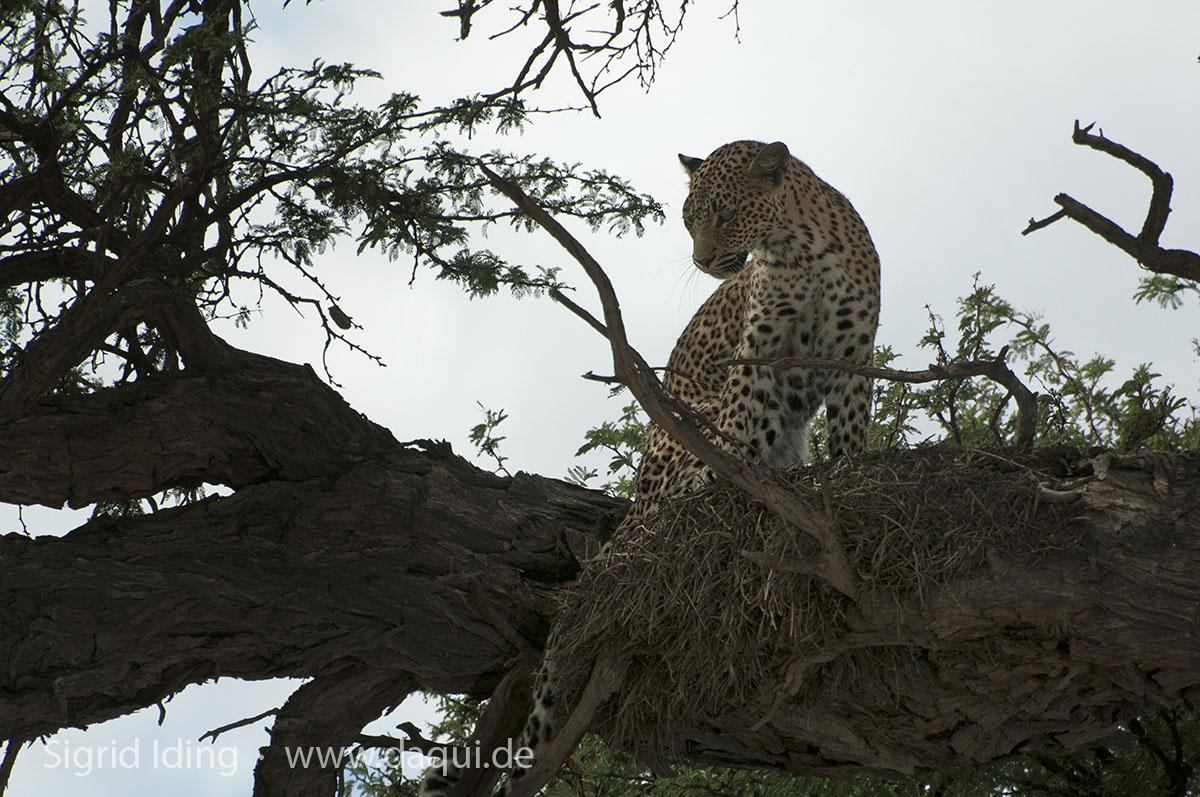 Leopard_1