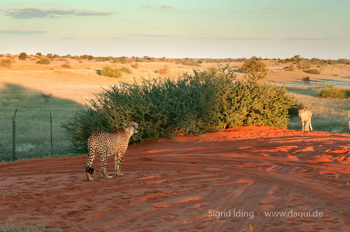 Geparden auf Bagatelle