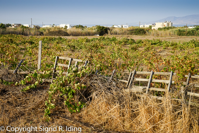 "... vorbei an den Weinfeldern hinter der ""Staubpisten""-Promenade"