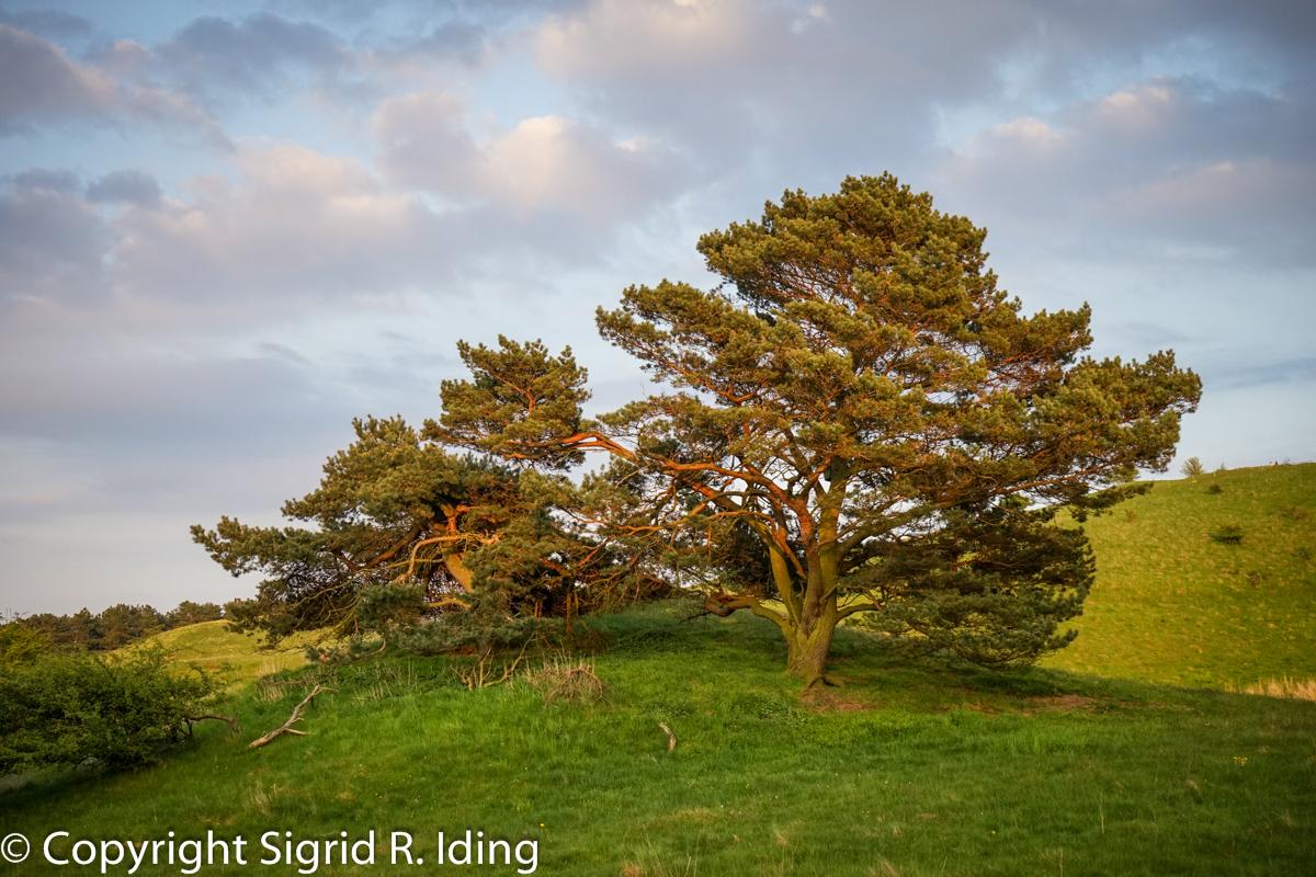Alte Bäume in den Zickerschen Bergen