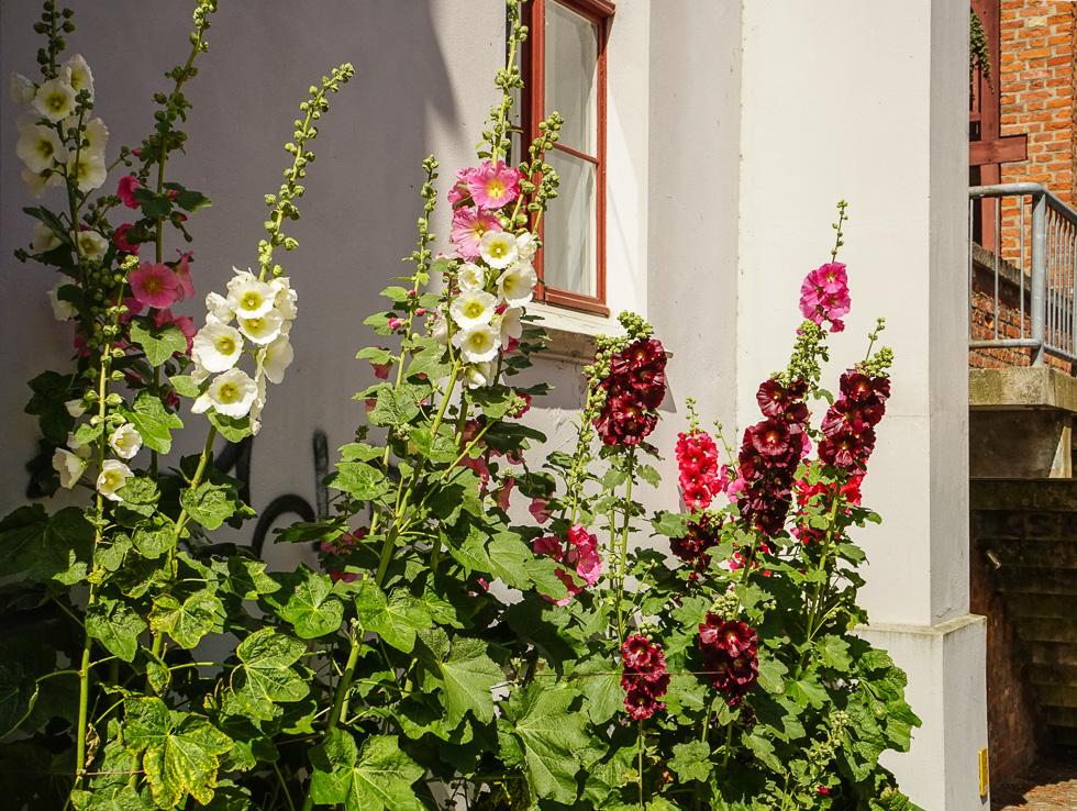 Stralsund Bauernrose am Haus
