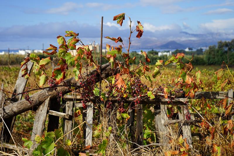 Der Regen hat auch die noch hängenden Weintrauben abgewaschen, so dass sie wieder zu sehen sind. Gleich eine Portion als zweites Frühstück mitgenommen.