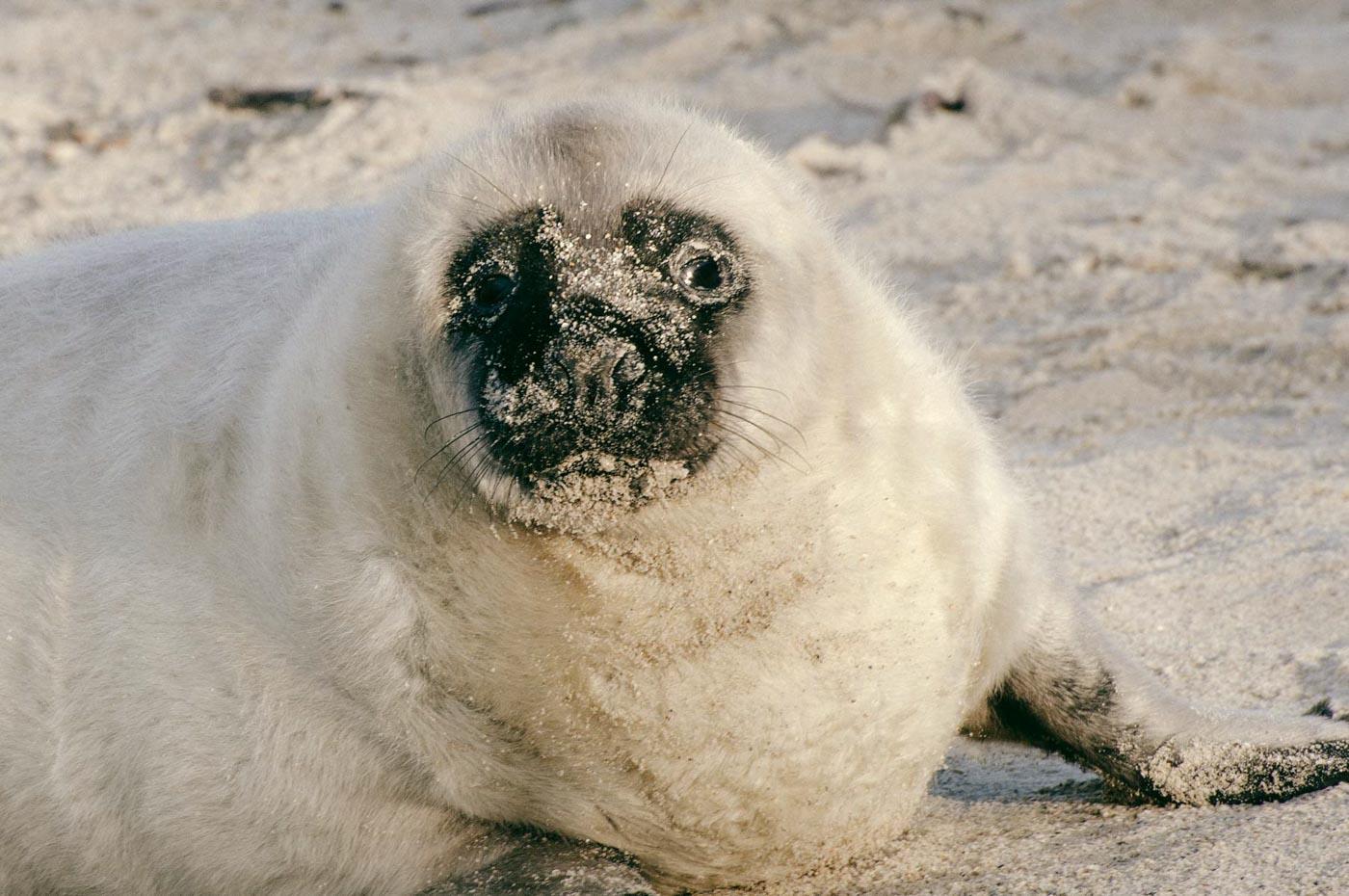 Robbenbaby auf Düne Helgoland