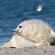 Robben-Junges am Strand