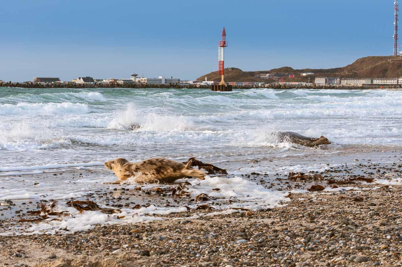 Robben auf Düne Helgoland