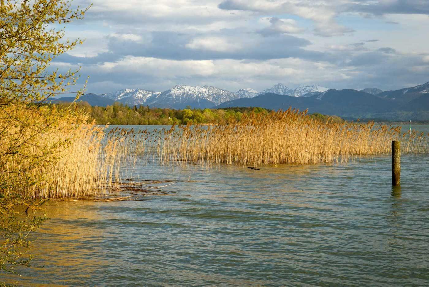 Golden steht Schilf am Blau des Chiemsees. Im Hintergrund die Chiemgauer Alpen