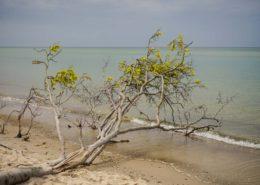 Entwurzelter Baum am Weststrand Darß