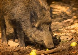 Wildsau - das Ebersberger Wappentier