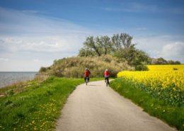 Fahrradfahrer auf dem Küsten-Fahrradweg bei Groß Stresow Rügen. Rapsfeld