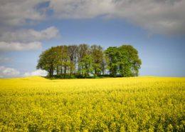 Baumgruppe umrahmt von Rapsfeld