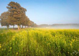 Heldenallee in Ebersberg an einem sonnigen Herbsttag. Letzte Rapsblüten