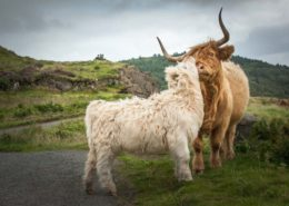 Highland Cattles Family Schottland Isle of Skye