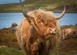 Highland Cattle Isle of Skye Schottland
