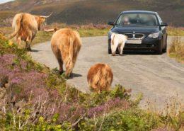 Highland Cattles vor einem Auto auf der Isle of Skye