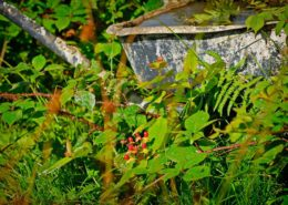Ein vergessener Schubkarren eingewachsen in eine Hecke