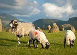 Schafe bei den Steinen von Castlerigg