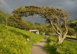 Schiefer Baum bei Lynton