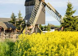 Bockwindmühle in Altensien Rügen zur Rapsblüte