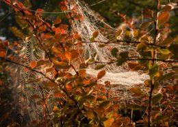 Spinnennetze in einer Hecke. Vom Morgenlicht angestrahlt