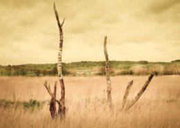 Selliner Moorlandschaft. Abgestorbene Bäume