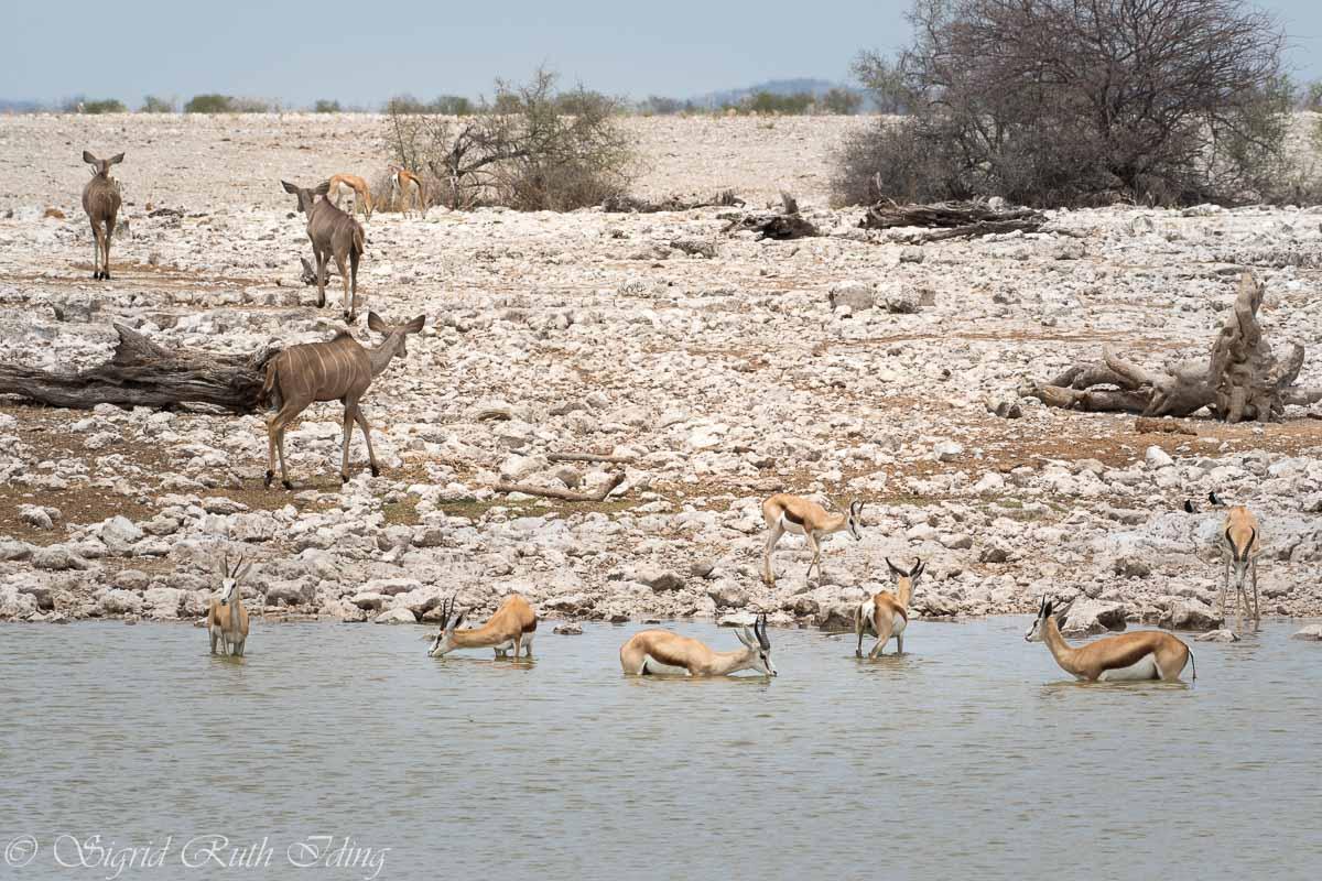 Antilopen am Wasserloch von Okaukuejo