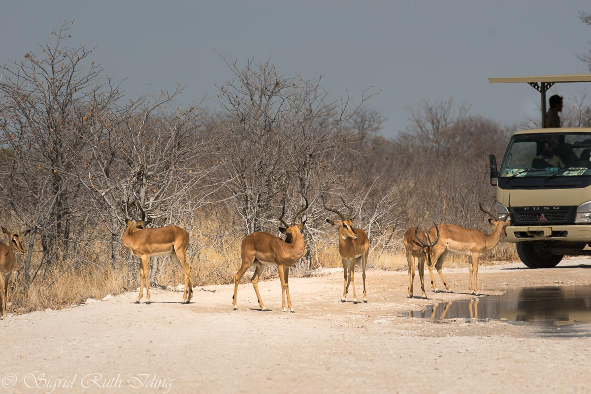 Antilopen im Etosha Nationalpark in Namibia